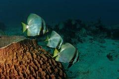Batfish i baryłki gąbka Zdjęcia Royalty Free