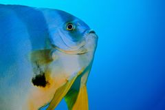 Batfish largo de la aleta Imagen de archivo libre de regalías