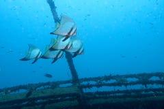 Batfish na wraku Zdjęcia Stock