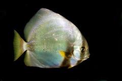 Batfish orbiculaire (orbicularis de Platax) Photographie stock libre de droits
