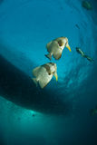 Batfish pair Royalty Free Stock Image
