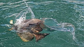 A batfish rises for food. On the water's surface Stock Image