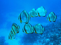 Batfish school Royalty Free Stock Images