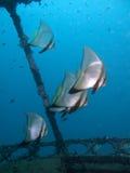 Batfish shipwreck. Beautiful bat fish swimming around a shipwreck Royalty Free Stock Photo