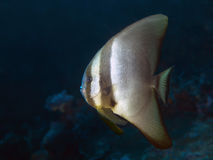 Batfish sombre Images stock