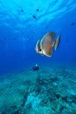 Batfish sombre photos libres de droits