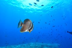 Batfish sombre photos stock