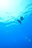 Batfish sombre image libre de droits