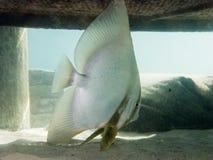 Batfish sombre Images libres de droits