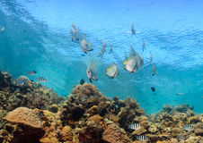 Batfish and tropical fish on a shallow reef Royalty Free Stock Photo