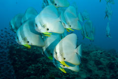 Batfish in tropics. Teira batfish at Sail Rock dive site close to Koh Tao island in Thailand Royalty Free Stock Images