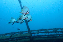 Batfish on a wreck. A group of batfish swim around a shipwreck Stock Photos