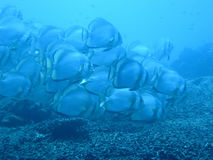 batfishblue royaltyfri foto