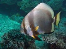 Batfishes royalty free stock photos
