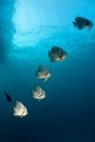 batfishföljd arkivbilder