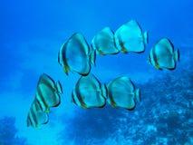 batfishskola Royaltyfria Bilder