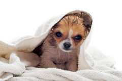 After bath Stock Photography