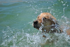 Bath. Golden retriever Black Sea bath stock photography