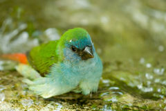 Small bird taking bath Royalty Free Stock Photo