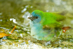 Green bird taking bath Royalty Free Stock Image