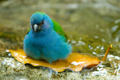 Blue bird taking bath Royalty Free Stock Photos