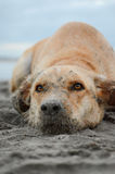 Bath, bay, baygold, beach, blue, burrow, close up, color, dirty, dog, eyes, filthy, lifestyle, muddy, muted, outdoors, play, pooch Stock Image