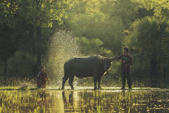 Bath buffalo farmer Royalty Free Stock Image