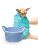 Bath Canine Hydrotherapy. Bathtime of little puppy of a russian toy terrier. The dog is wrapped around with a towel and is hold by two hands. Plastic wash basin Stock Images