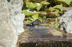 Bath d'oiseau Images libres de droits