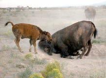Bath de saleté de vache et de veau de Buffalo Image stock