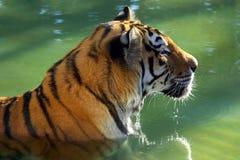 Bath de tigre Images libres de droits