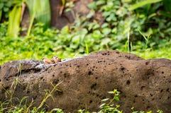 Bath du bec de corail de plusieurs oiseaux sur une roche dans la savane de l'AM Photos stock