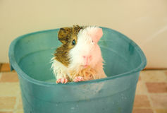 Bath Guinea Pig selective focus in blue bucket. Royalty Free Stock Images