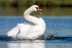 The Bath of Mute Swan Royalty Free Stock Photography