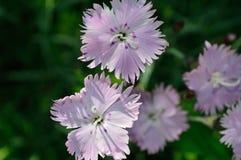 Bath`s Pink cluster - Dianthus Gratianopolitanus stock photos