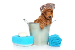 Bath theme. Poodle puppy Royalty Free Stock Photography