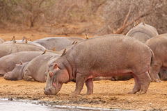 Bath time. Hippopotamus enters the lake at Lower Sabie camp Royalty Free Stock Photography