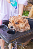 Bath time for brown pomeranian shower Royalty Free Stock Image