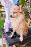 Bath time for brown pomeranian shower Stock Photography