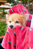 Bath time for brown pomeranian shower Royalty Free Stock Photos
