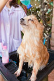 Bath time for brown pomeranian shower Royalty Free Stock Images