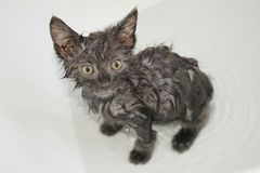 Bath time for farm kitten royalty free stock photo