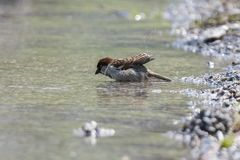 Bath time for sparrow. At lake Royalty Free Stock Image