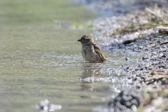 Bath time for sparrow. At lake Stock Images