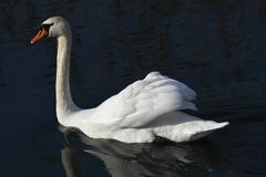 Bath time for swan. At lake Royalty Free Stock Photo