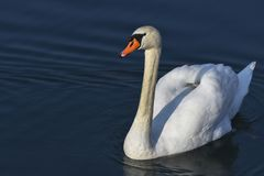 Bath time for swan. At lake Royalty Free Stock Photos