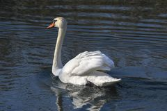 Bath time for swan. At lake Royalty Free Stock Images