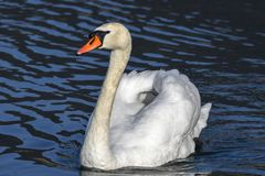 Bath time for swan. At lake Royalty Free Stock Image