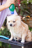Bath time for white pomeranian shower Stock Image