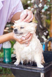 Bath time for white pomeranian shower Stock Photography